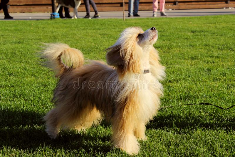 Chinese Crested outside. Cute little dog outdoor. Full length image of a dog. stock photo