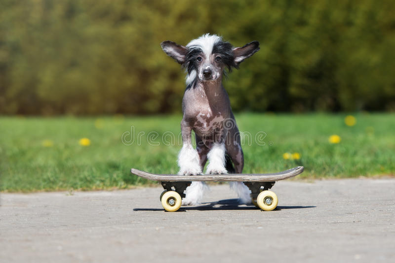 Chinese crested puppy on a skateboard. Chinese crested puppy posing outdoors stock images