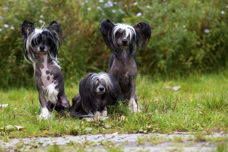 Chinese Crested unbehaart und Poderpuff-Hunde lizenzfreies stockfoto