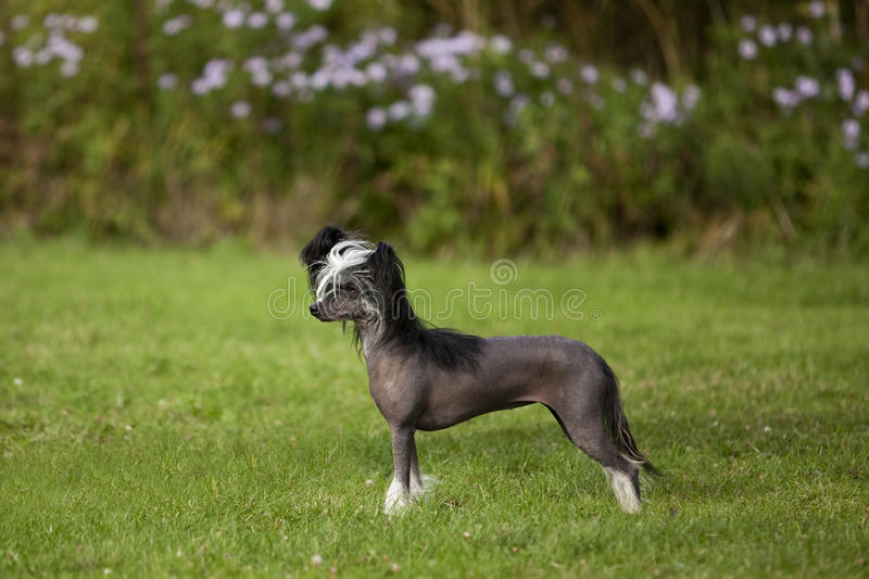 Chinese Crested-unbehaarter Hund stockfoto