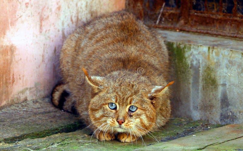 Chinese Desert Cat royalty free stock photo
