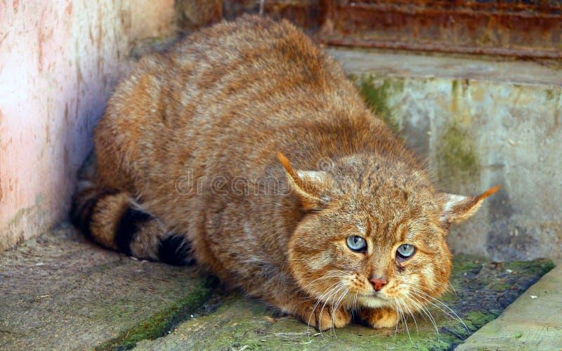 Chinese Desert Cat stock photography