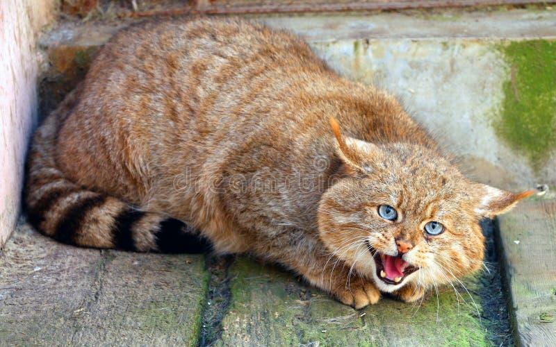 Chinese Desert Cat stock photo