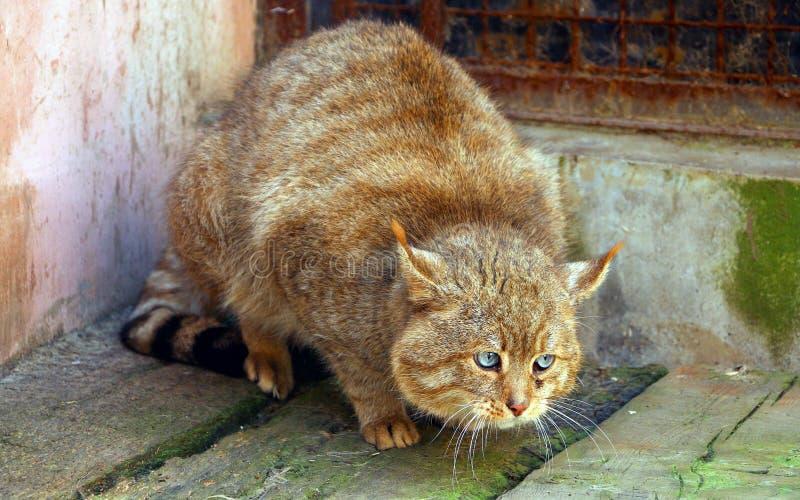 Chinese Desert Cat royalty free stock photos