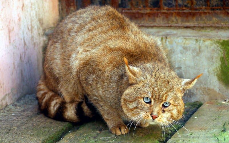 Chinese Desert Cat stock image