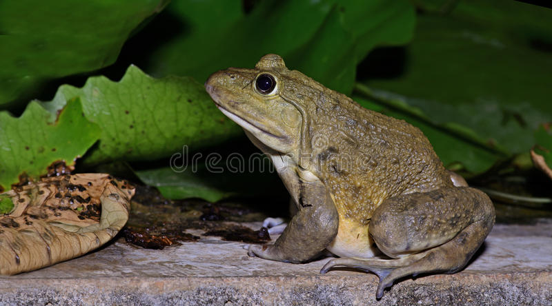 Chinese edible frog, East asian bullfrog, Taiwanese frog,Beautiful Frog, Frog on the rocks royalty free stock photography