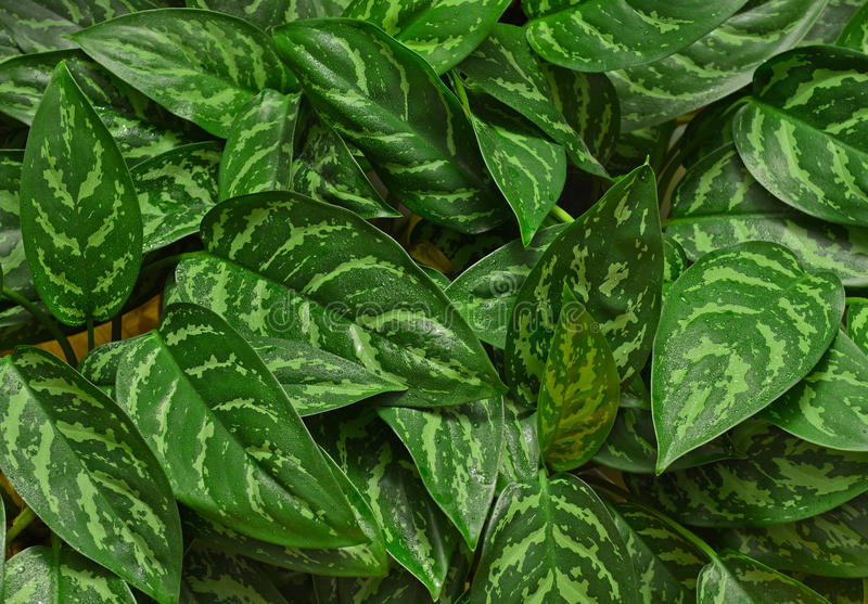 Chinese Evergreen Houseplant. Often used to clean indoor air stock image