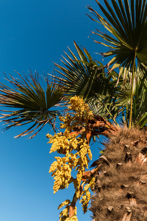 Chinese fan palm stock image image of bunches leaf 47255435 download chinese fan palm stock image image of bunches leaf 47255435 mightylinksfo