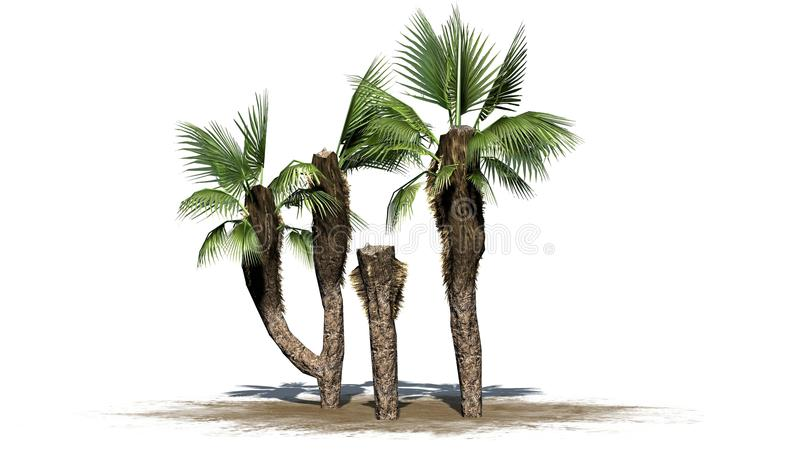 Chinese fan palms group - separated on white background. Chinese fan palms group on sand - separated on white background royalty free illustration