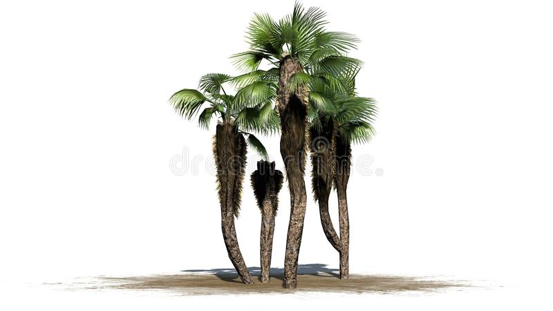 Chinese fan palms group - separated on white background. Chinese fan palms group on sand - separated on white background vector illustration
