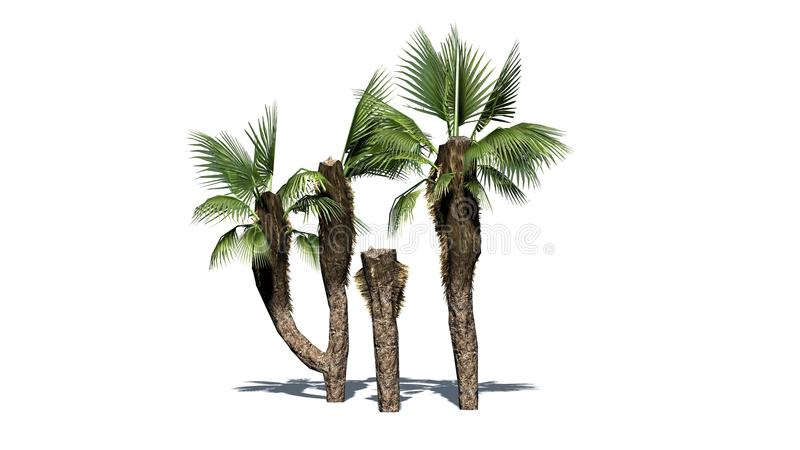 Chinese fan palms group - separated on white background. Chinese fan palms group with shadow - separated on white background stock illustration