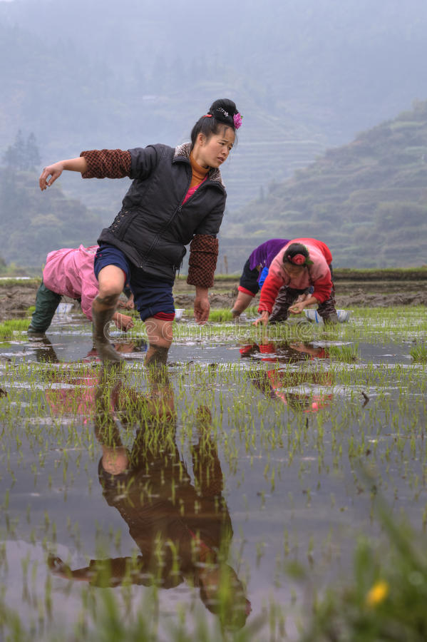 Download Chinese Farmer Girl Walks Barefoot Through Mud Of Paddy Field. Editorial Stock Photo - Image of hand, crop: 60000583