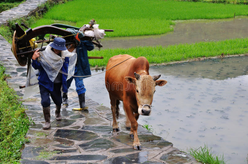 Chinese farmer with oxen royalty free stock images