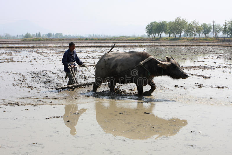 Download The Chinese Farmer Is Plowing Editorial Stock Image - Image: 22307684