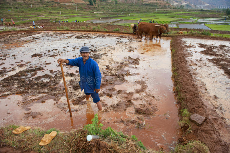 Chinese farmer works rice field royalty free stock image