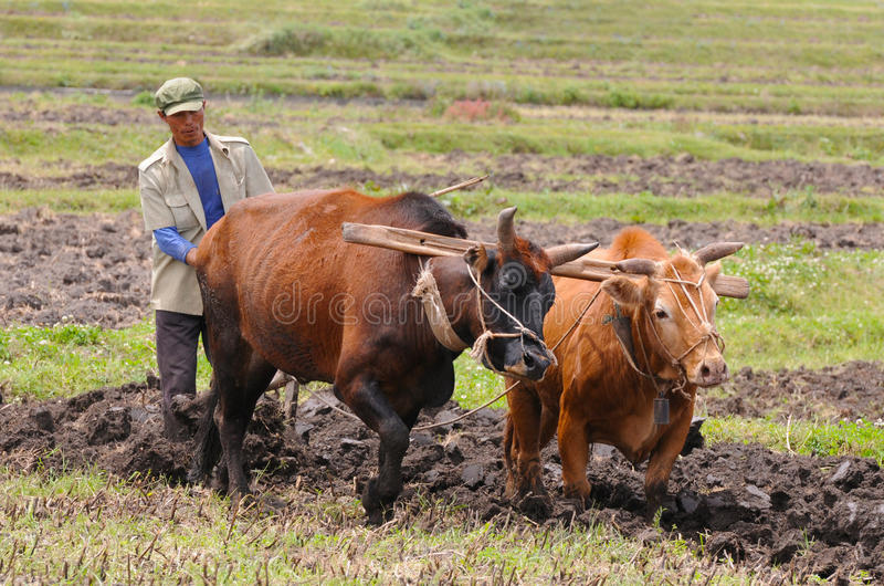 Chinese farmer works in a rice field royalty free stock photography