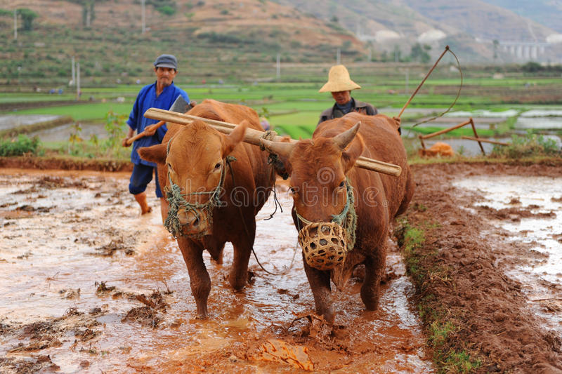 Chinese farmer works in a rice field stock photography