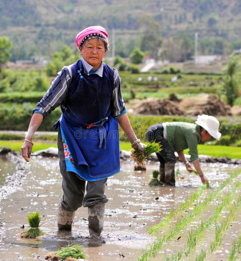 Chinese farmers works rice field royalty free stock photo