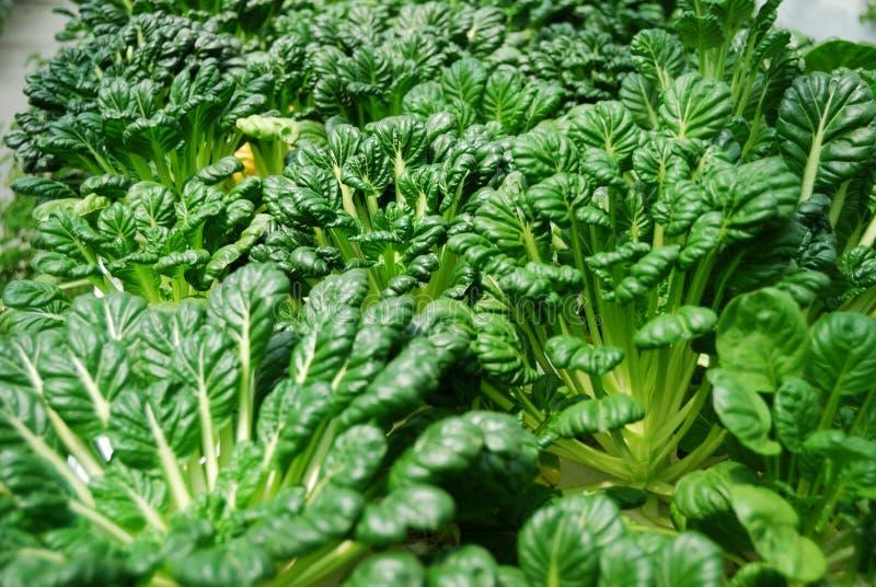 Download Chinese flat cabbage stock image. Image of flat, china - 31553333
