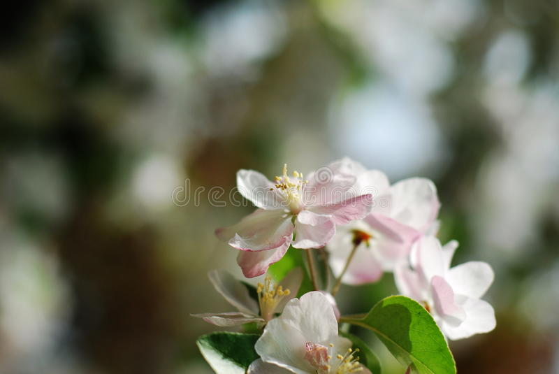Download Chinese flowering apple stock photo. Image of garden - 39513978