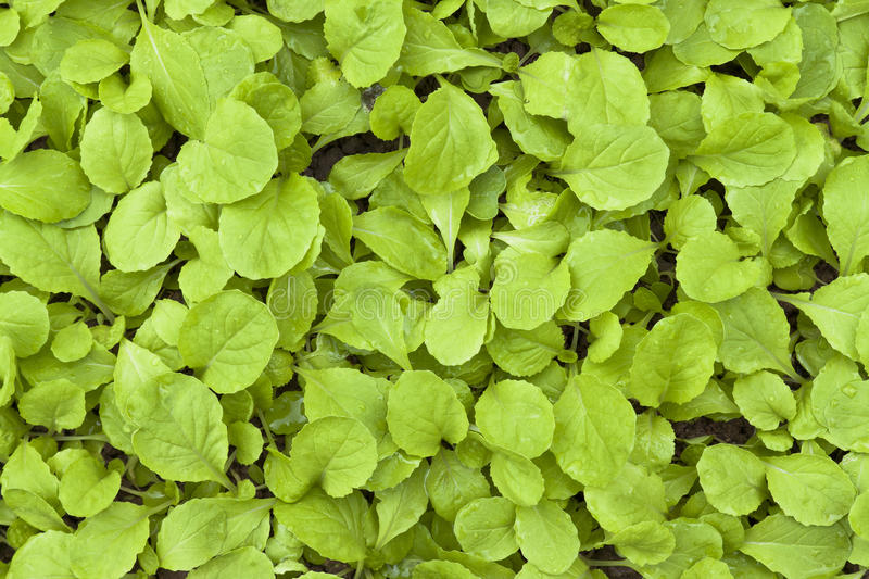 Download Chinese flowering cabbage stock photo. Image of agriculture - 21443148