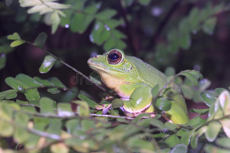 Chinese flying frog. Sitting on the leaf stock images