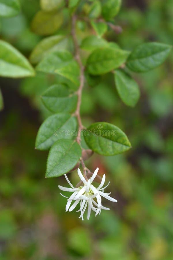 Chinese fringe flower. White-flowering green-leafed Chinese fringe flower - Latin name - Loropetalum chinense royalty free stock photography