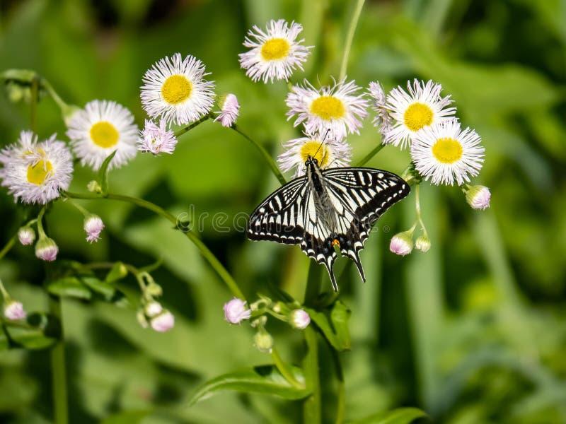 Chinese Gele Swallowtail-vlinder op witte bloemen 1 stock foto's