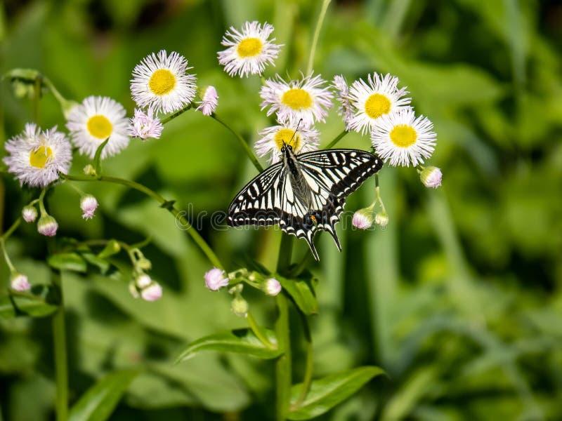 Chinese Gele Swallowtail-vlinder op witte bloemen 2 royalty-vrije stock foto