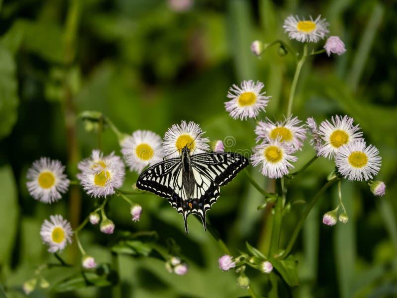 Chinese Gele Swallowtail-vlinder op witte bloemen 3 royalty-vrije stock fotografie