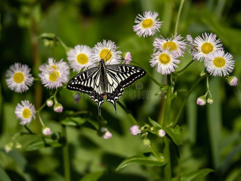 Chinese Gele Swallowtail-vlinder op witte bloemen 4 royalty-vrije stock afbeelding
