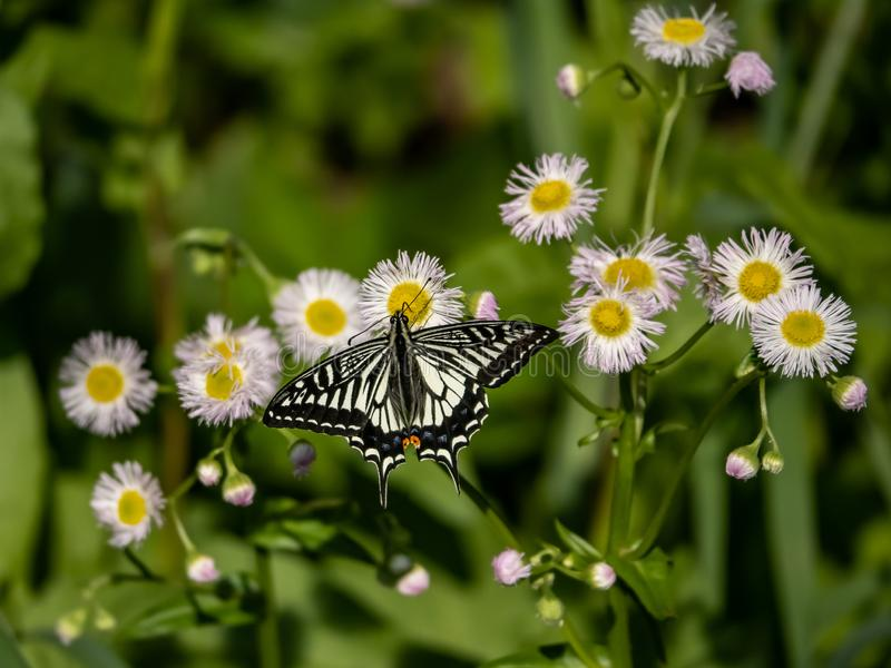 Chinese Gele Swallowtail-vlinder op witte bloemen 5 stock fotografie