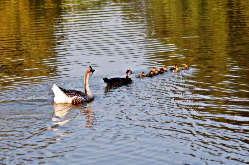 Chinese Goose protecting family of ducks. Chinese Goose protecting Mom and babies. This was a beautiful site stock photos