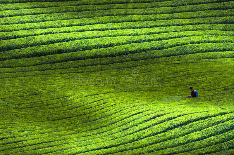 Chinese Guizhou Pu Black Tea base scenery stock photos