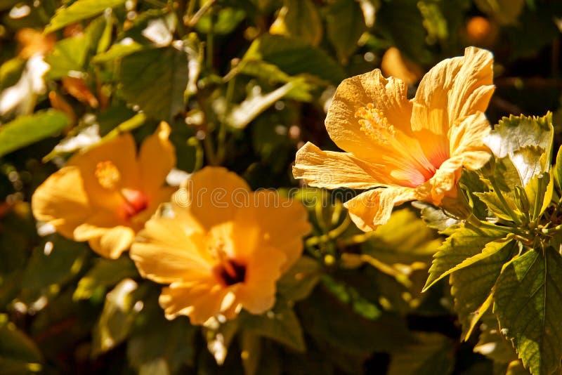 Chinese hibiscus royalty-vrije stock foto