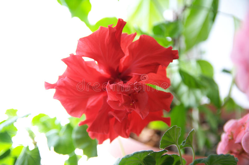 Chinese hibiscus red flower background. Spring flower blooming. Tropical or home plant blossoming closeup flower. Hawaiian or perennial plumeria flora stock images