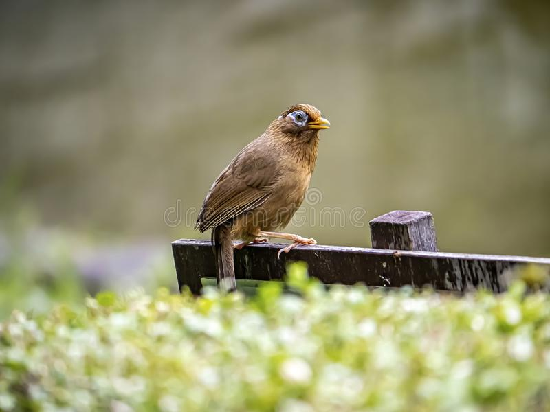 Chinese hwamei songbird perched on a sign 1. A Chinese hwamei or melodious laughingthrush, Garrulax canorus, perches on a small sign in a Japanese botanical stock image