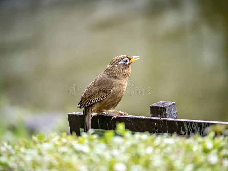 Chinese hwamei songbird perched on a sign 2. A Chinese hwamei or melodious laughingthrush, Garrulax canorus, perches on a small sign in a Japanese botanical royalty free stock photo