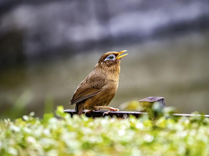 Chinese hwamei songbird perched on a sign 4. A Chinese hwamei or melodious laughingthrush, Garrulax canorus, perches on a small sign in a Japanese botanical royalty free stock photography