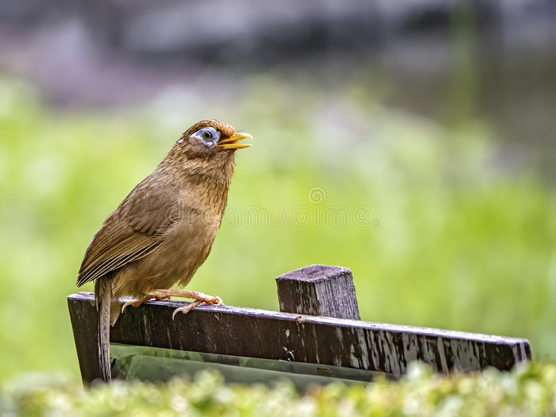 Chinese hwamei songbird perched on a sign 8. A Chinese hwamei or melodious laughingthrush, Garrulax canorus, perches on a small sign in a Japanese botanical stock photo