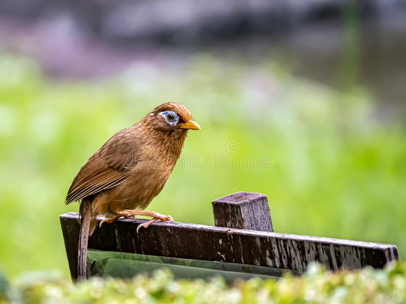 Chinese hwamei songbird perched on a sign 9. A Chinese hwamei or melodious laughingthrush, Garrulax canorus, perches on a small sign in a Japanese botanical stock image