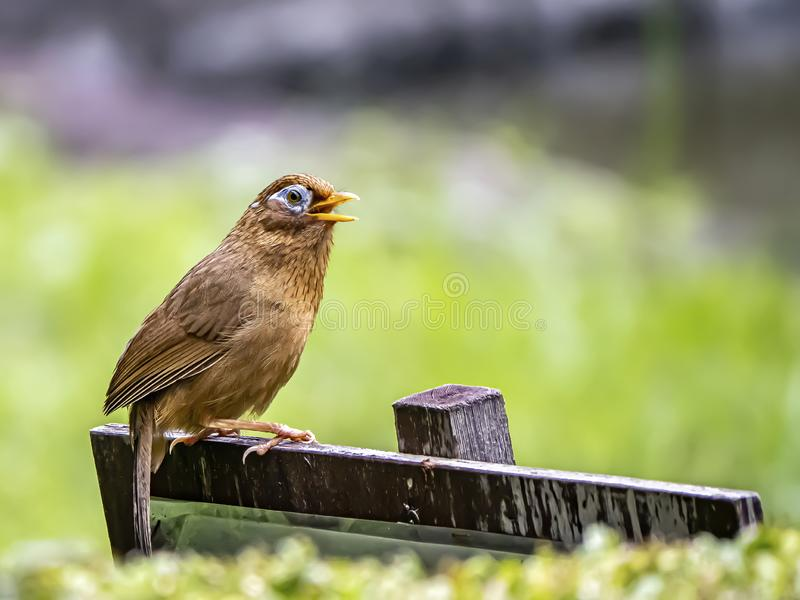 Chinese hwamei songbird perched on a sign 7. A Chinese hwamei or melodious laughingthrush, Garrulax canorus, perches on a small sign in a Japanese botanical stock photography