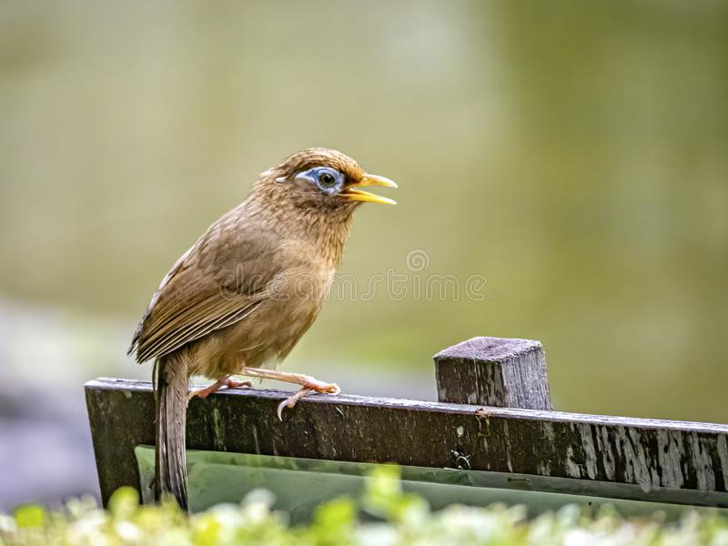 Chinese hwamei songbird perched on a sign 11. A Chinese hwamei or melodious laughingthrush, Garrulax canorus, perches on a small sign in a Japanese botanical royalty free stock photo