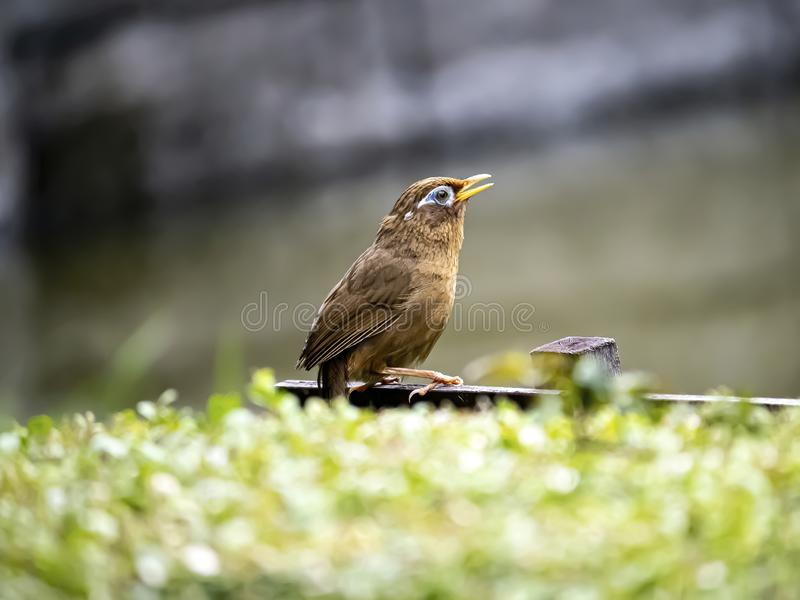 Chinese hwamei songbird perched on a sign 3. A Chinese hwamei or melodious laughingthrush, Garrulax canorus, perches on a small sign in a Japanese botanical stock photo