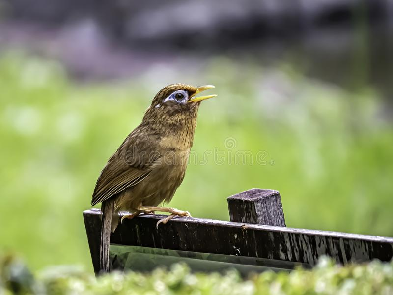 Chinese hwamei songbird perched on a sign 6. A Chinese hwamei or melodious laughingthrush, Garrulax canorus, perches on a small sign in a Japanese botanical royalty free stock image