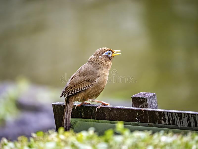 Chinese hwamei songbird perched on a sign 12. A Chinese hwamei or melodious laughingthrush, Garrulax canorus, perches on a small sign in a Japanese botanical stock photo