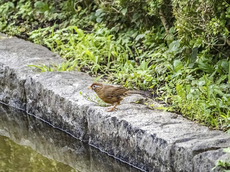 Chinese hwamei songbird standing on a stone border 1. A Chinese hwamei or melodious laughingthrush, Garrulax canorus, perches on a stone border in a Japanese stock photos