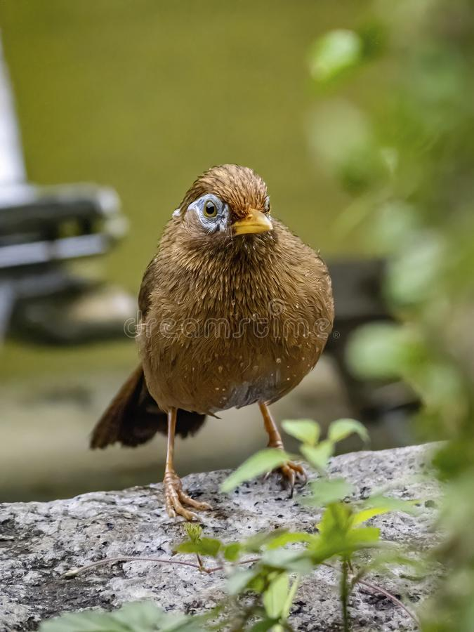 Chinese hwamei songbird standing on a stone border 1. A Chinese hwamei or melodious laughingthrush, Garrulax canorus, perches on a stone border in a Japanese stock images