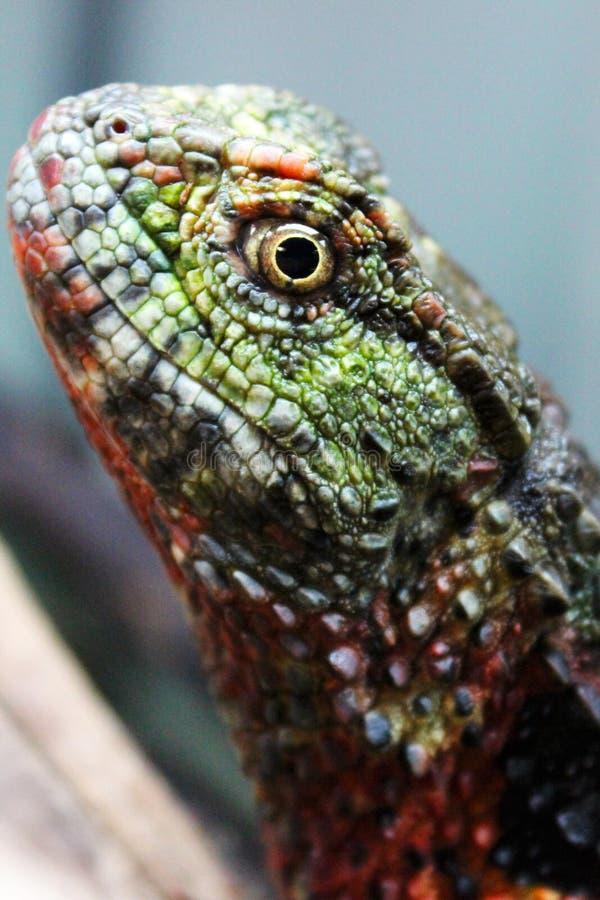 Chinese krokodilhagedis royalty-vrije stock foto's