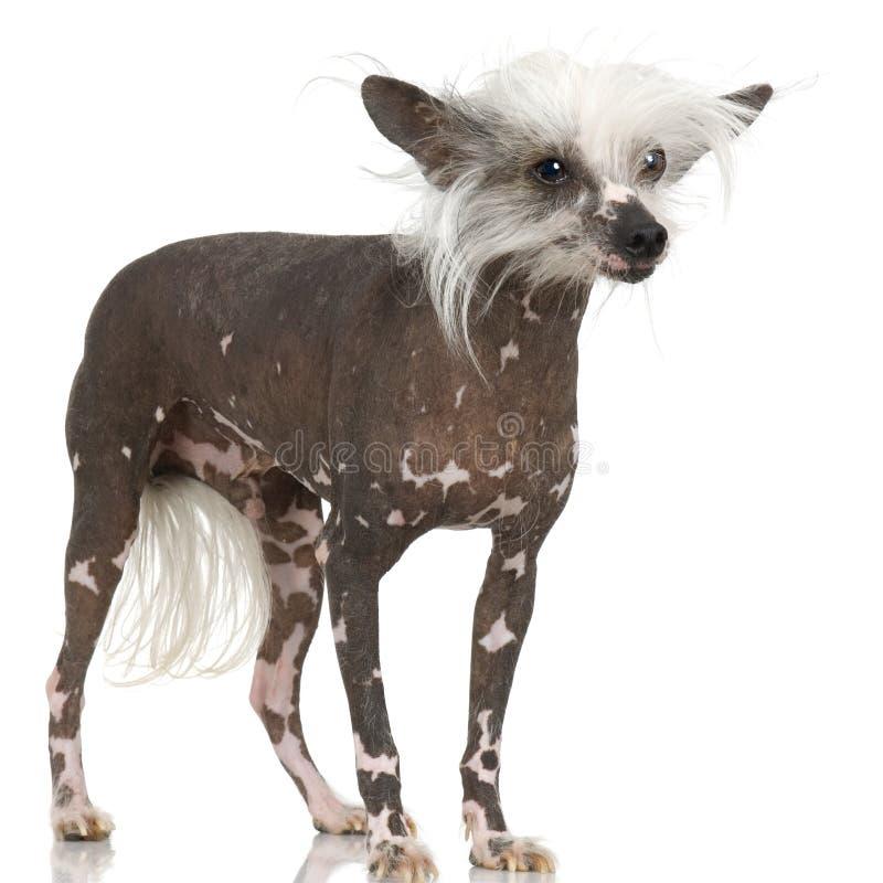 Chinese Kuif Kale Hond - stock foto